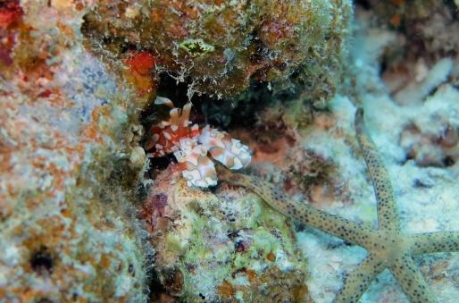 harlequin_shrimp