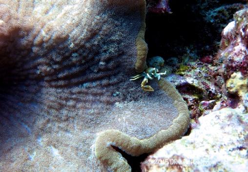 Porceline crab