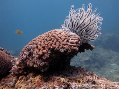Golden damsel & brain coral & feather star