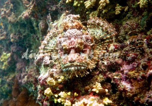 Statue-like Scorpionfish