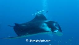 Elegant manta ray