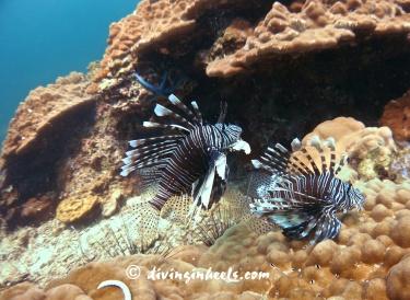 Lionfish duo