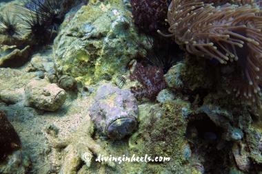Scorionfish